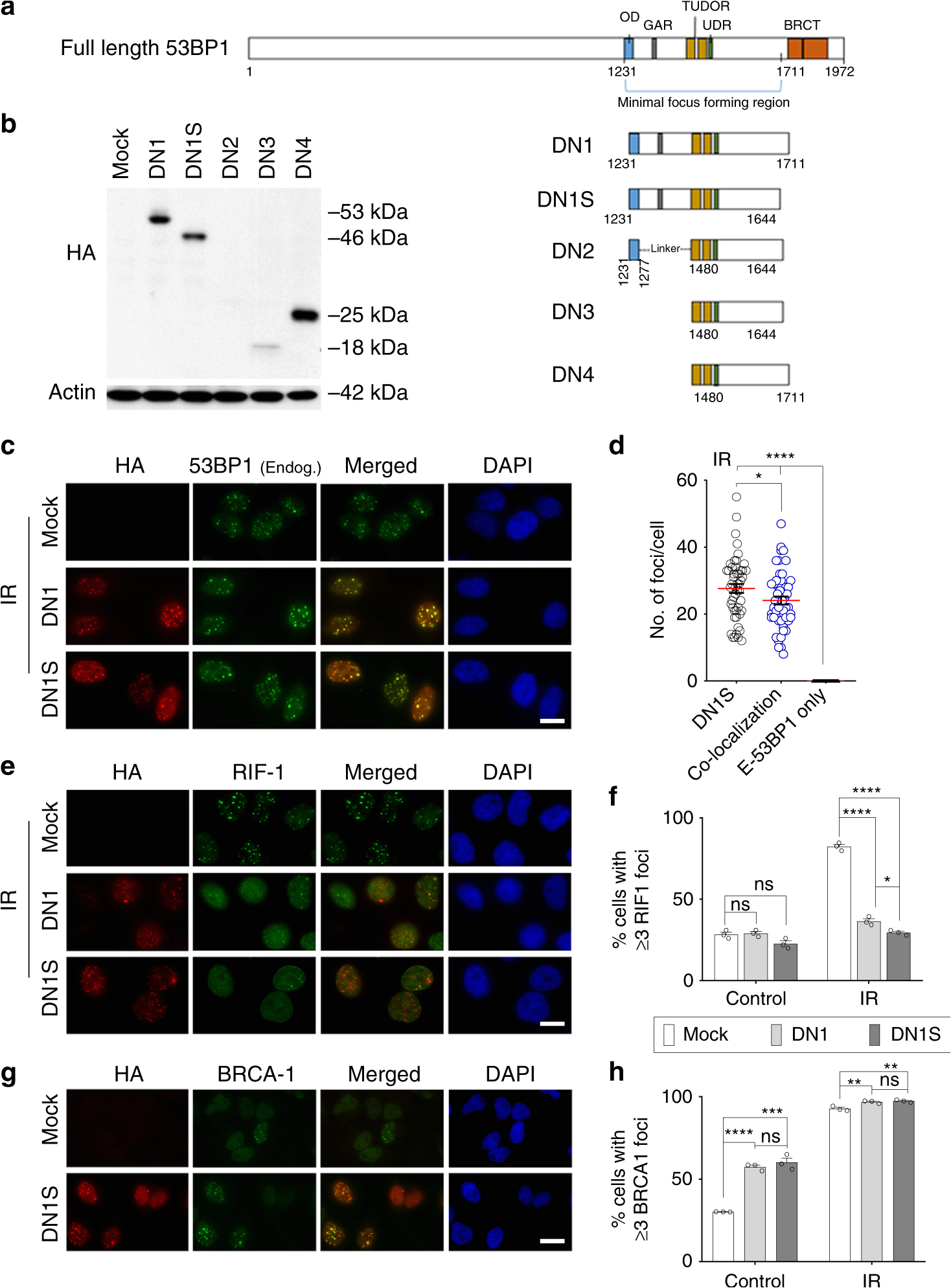 crispr cas9 fusion to dominant negative 53bp1 enhances hdr and inhibits nhej specifically at cas9 target sites nature communications