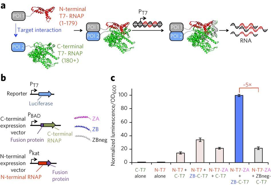 evolution of a split rna polymerase as a versatile biosensor platform nature chemical biology