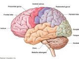 Brain Wiring Diagram Brain Science What S the Difference Between the Left and Right