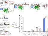 Kim Hotstart Wiring Diagrams Evolution Of A Split Rna Polymerase as A Versatile Biosensor